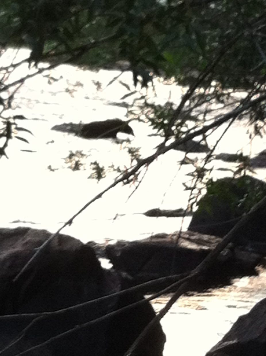I had to get a little distance before I took photos of a bear who appeared right across the Elk River, then swam to my side. Submitted by: Steve Moos