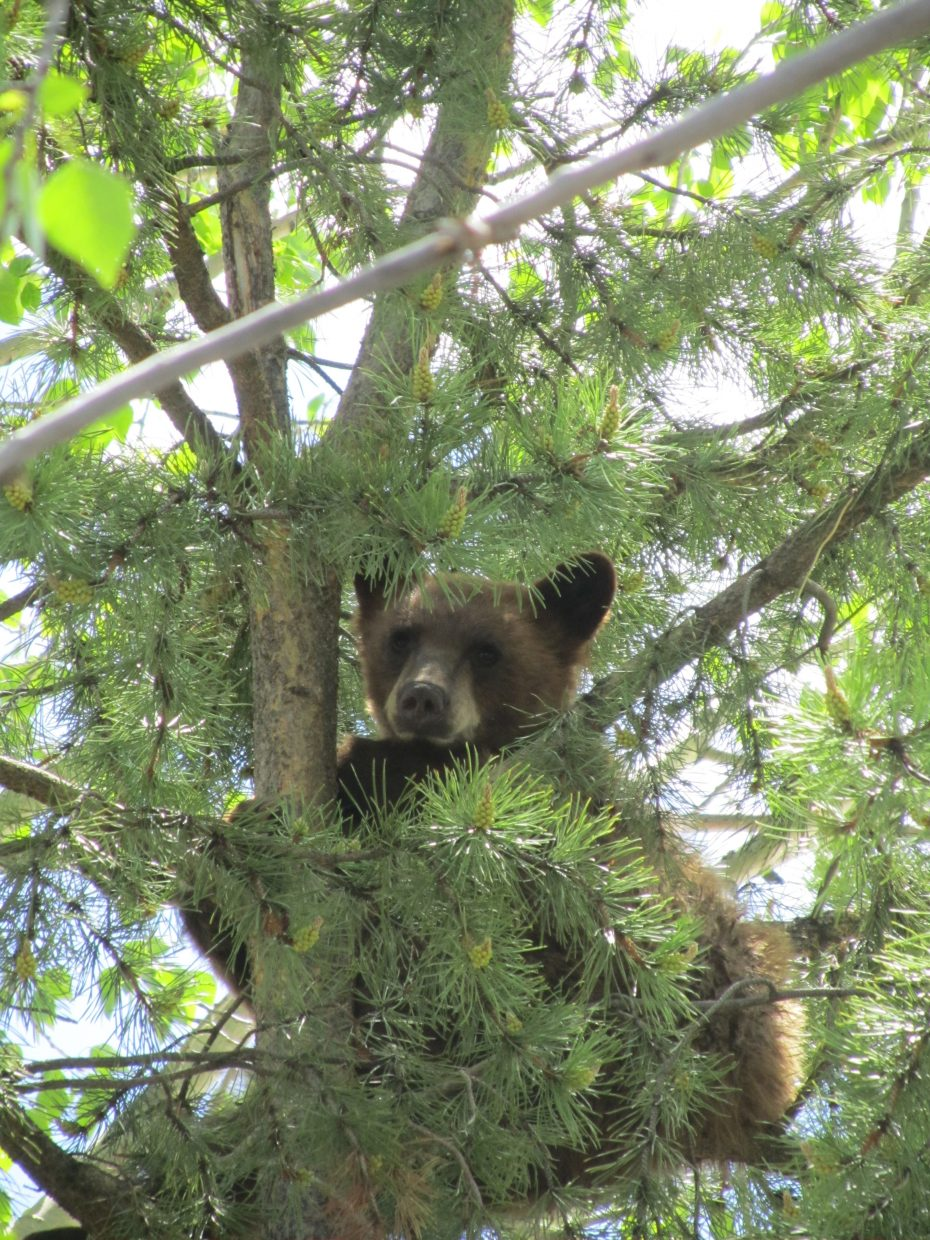 This bear cub was in a tree at Freshies on May 20. Submitted by: Anne van Kleeck