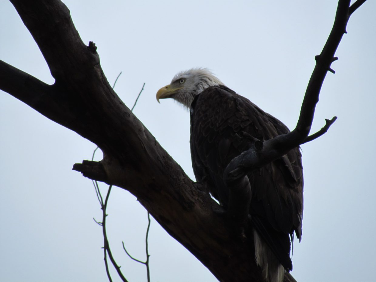 A bald eagle sits near the entrance to the Milner Landfill on Routt County Road 205. Submitted by: Tricia Nickerson