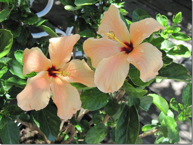 Hibiscus are very exotic, but here they are blooming on our deck. Submitted by: Carol Markowitz