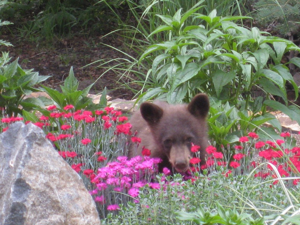 A mother bear and two cubs visited our garden. This little guy seems to approve. Submitted by: Barb Orms