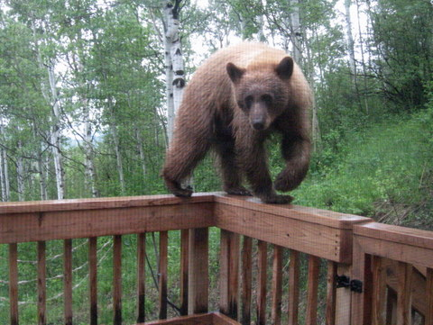 A bear showed up on the back deck of Rebecca Bailey's home in Stagecoach this morning.