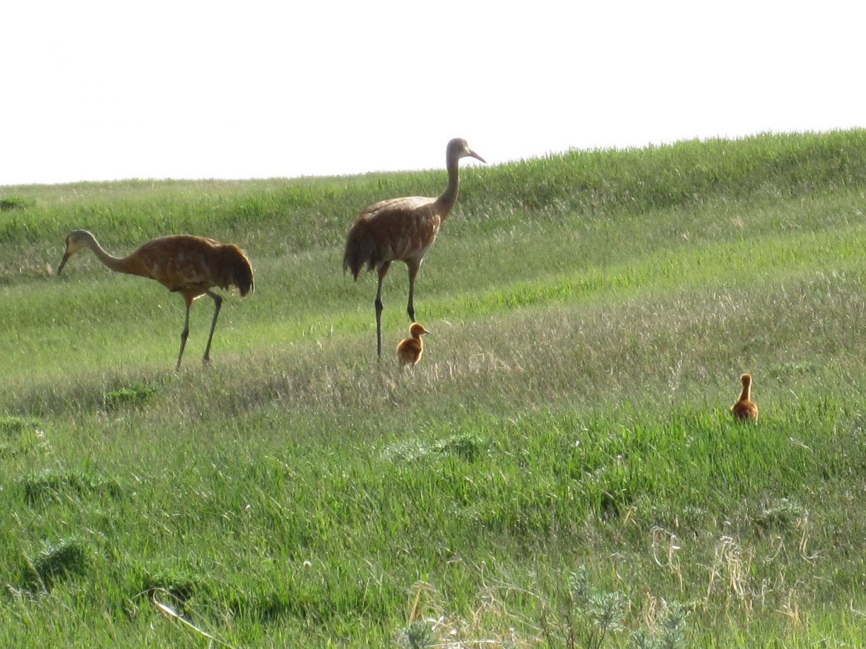 Holly Larson took this picture of sandhill cranes with their two colts. Submitted by: Bob and Holly Larson