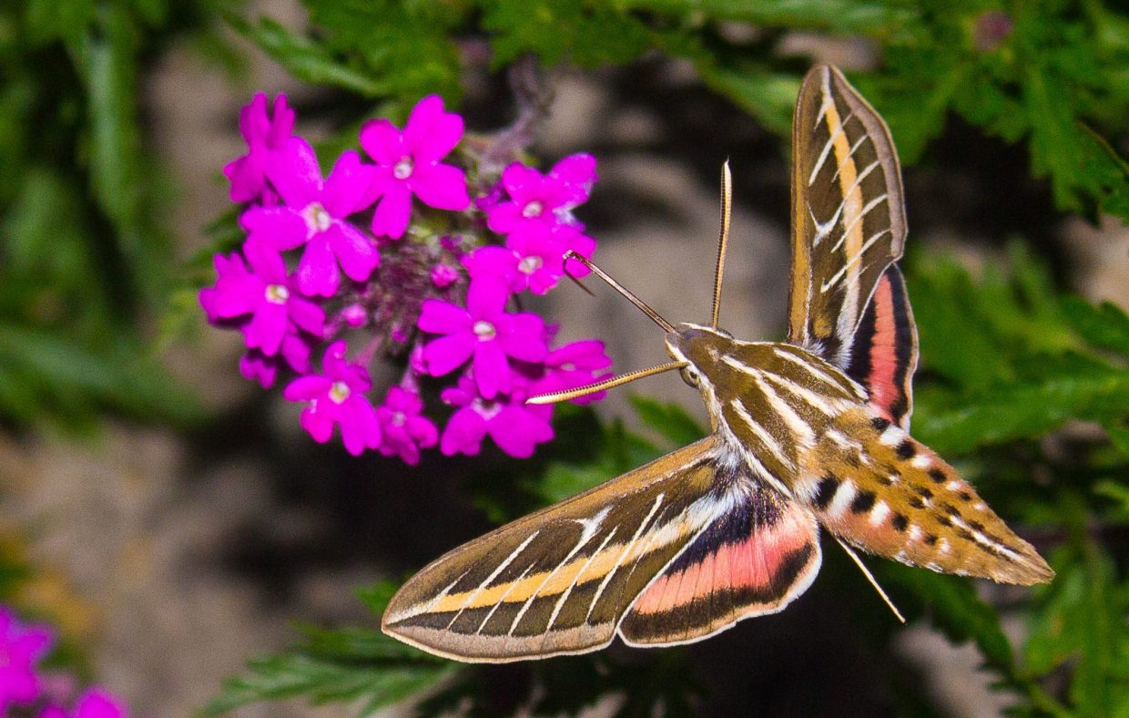 Hummingbird moth in Jeff's garden. Submitted by: Jeff Morehead