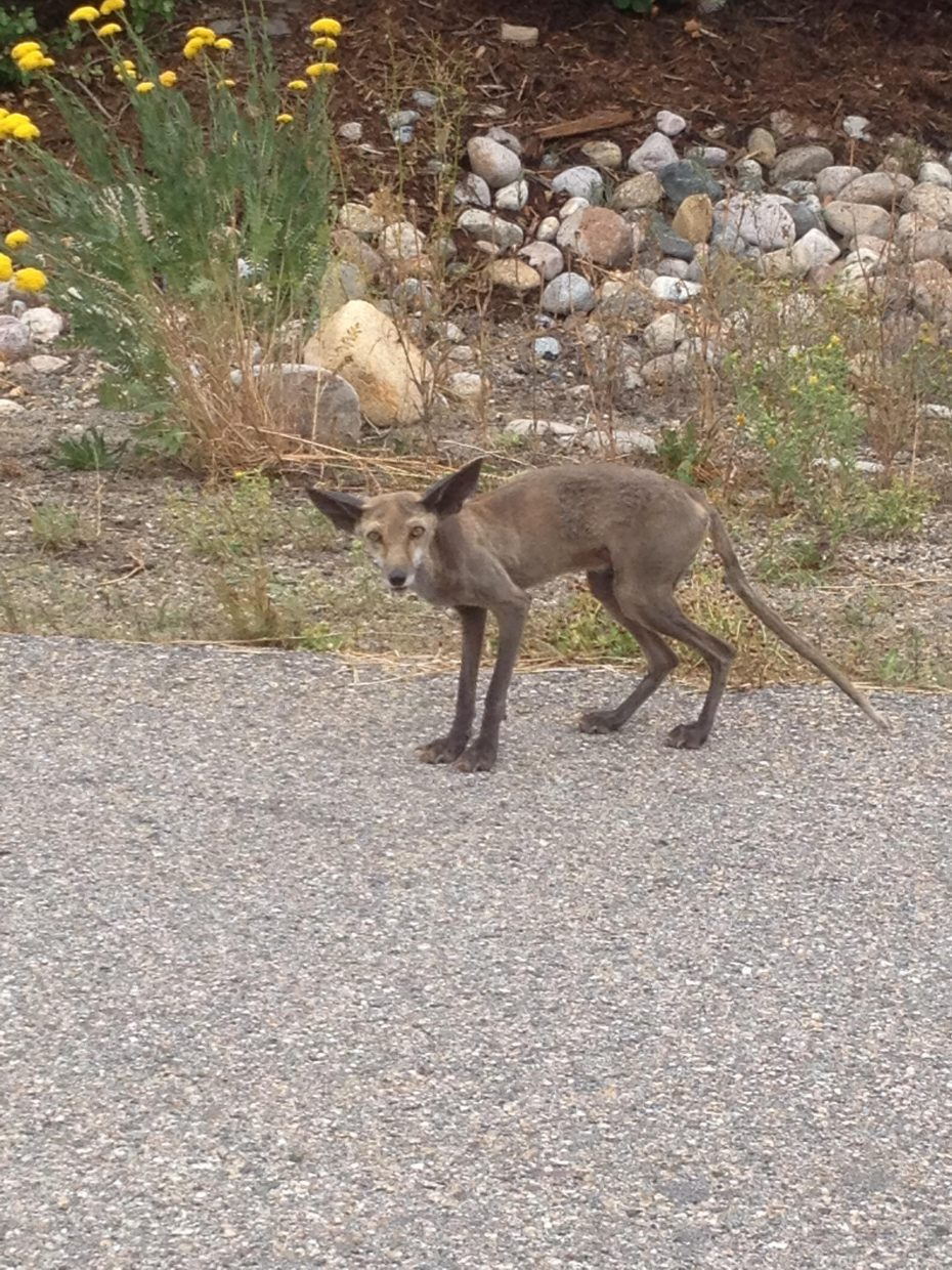 Cute hairless fox on Anglers Court. Submitted by: Mike Kinnecom