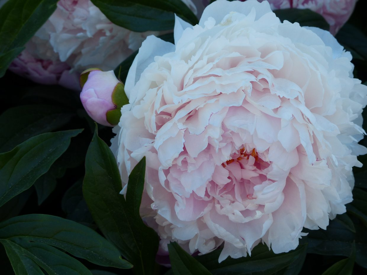 Peonies at the post office. Submitted by: Sue Hansen