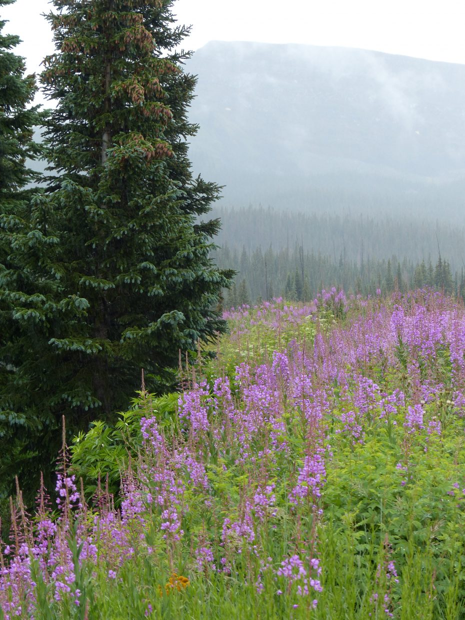 These are all from the Flattops near Stillwater Reservoir. Fireweed and Gentian plants. Submitted by: Sue Hansen