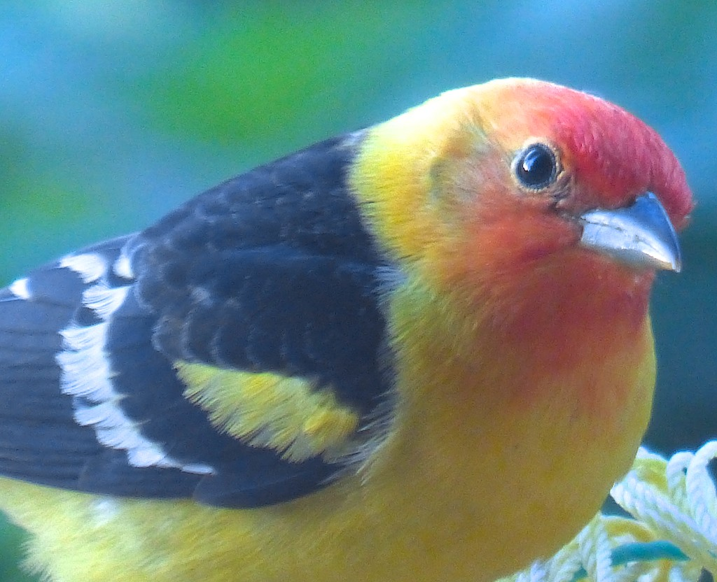 Western Tanager. Submitted by: Nancy Merrill