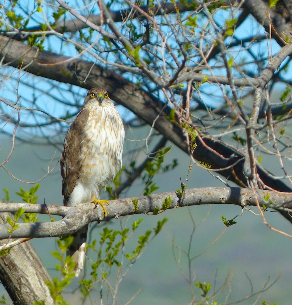 Cooper's Hawk. Submitted by: Nancy Merrill