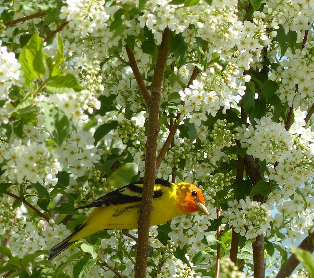 Western Tanager in Chokecherry Tree. Submitted by: Nancy Merrill