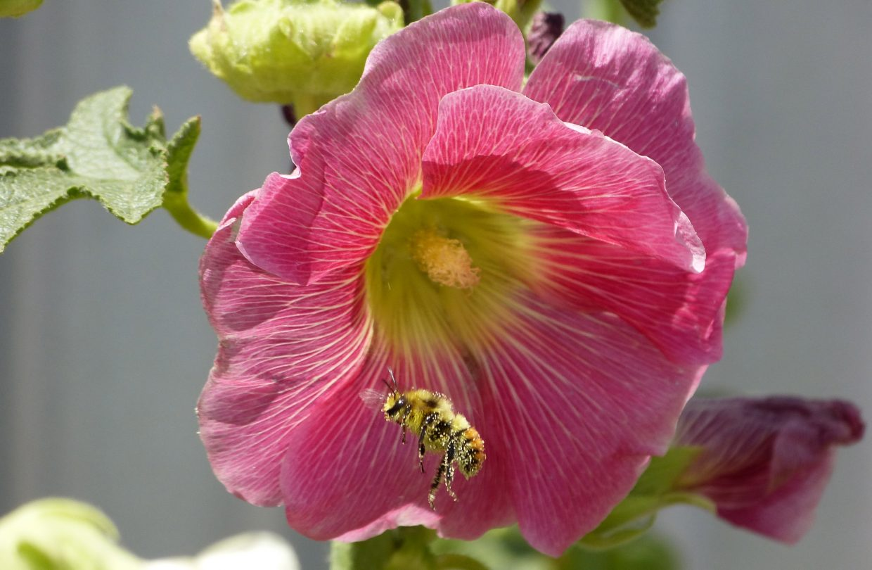 Bee on a flower on a ranch in Hayden on Tuesday. Submitted by: Marie-Beth Cheezem