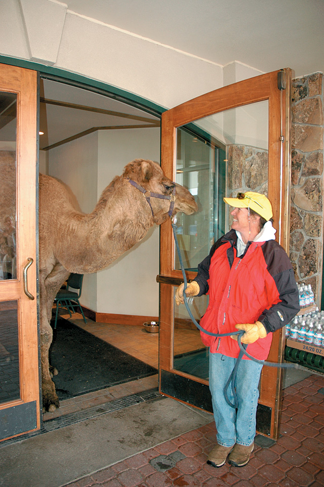 Beth Aurin leads Larry the Camel out of the Sheraton Steamboat Resort. The camel was there as part of the Picture Your Pet with Santa fundraiser for the Routt County Humane Society.