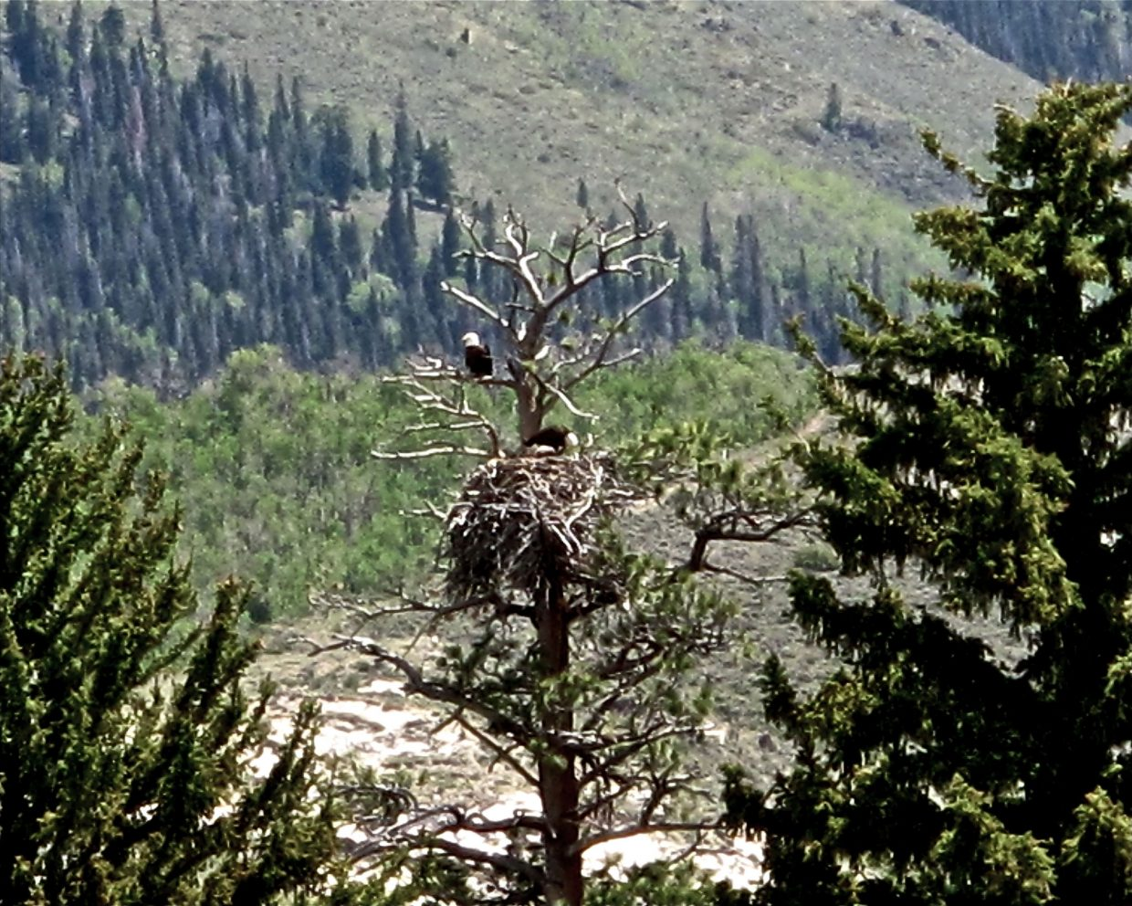 Two eagles and a nest. Taken near Finger Rock, south of Yampa, east of Colorado Highway 131. Submitted by: Doug Lewer