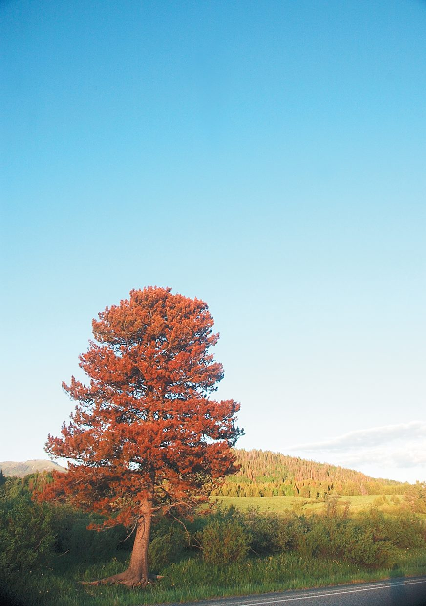 A lone beetle-killed lodgepole pine stands along Routt County Road 129 near Steamboat Lake.