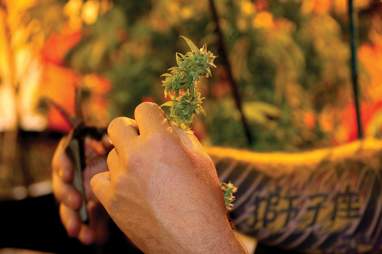 A grower at Rocky Mountain Remedies in Steamboat Springs trims the bud prior to the drying process.