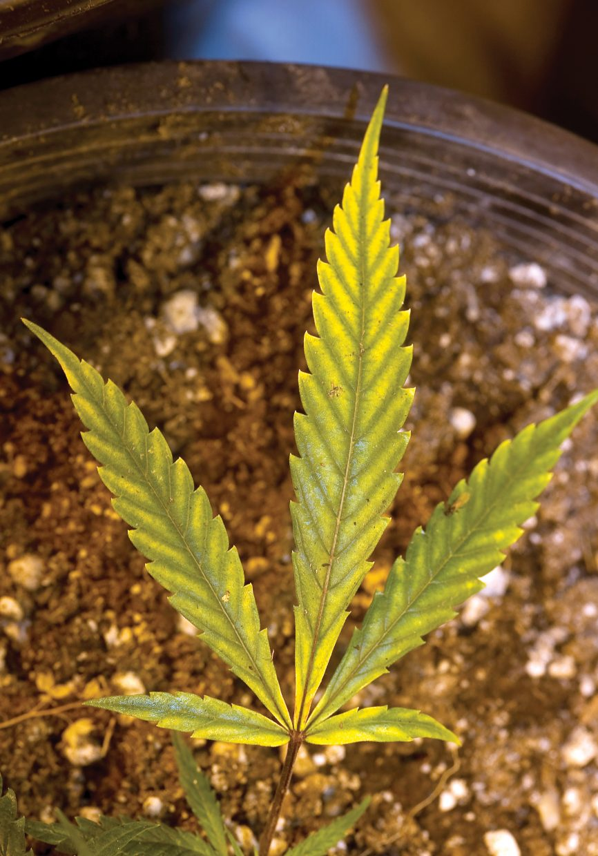 The well-known shape of the marijuana leaf has become an icon for the medical marijuana industry as it continues to grow.