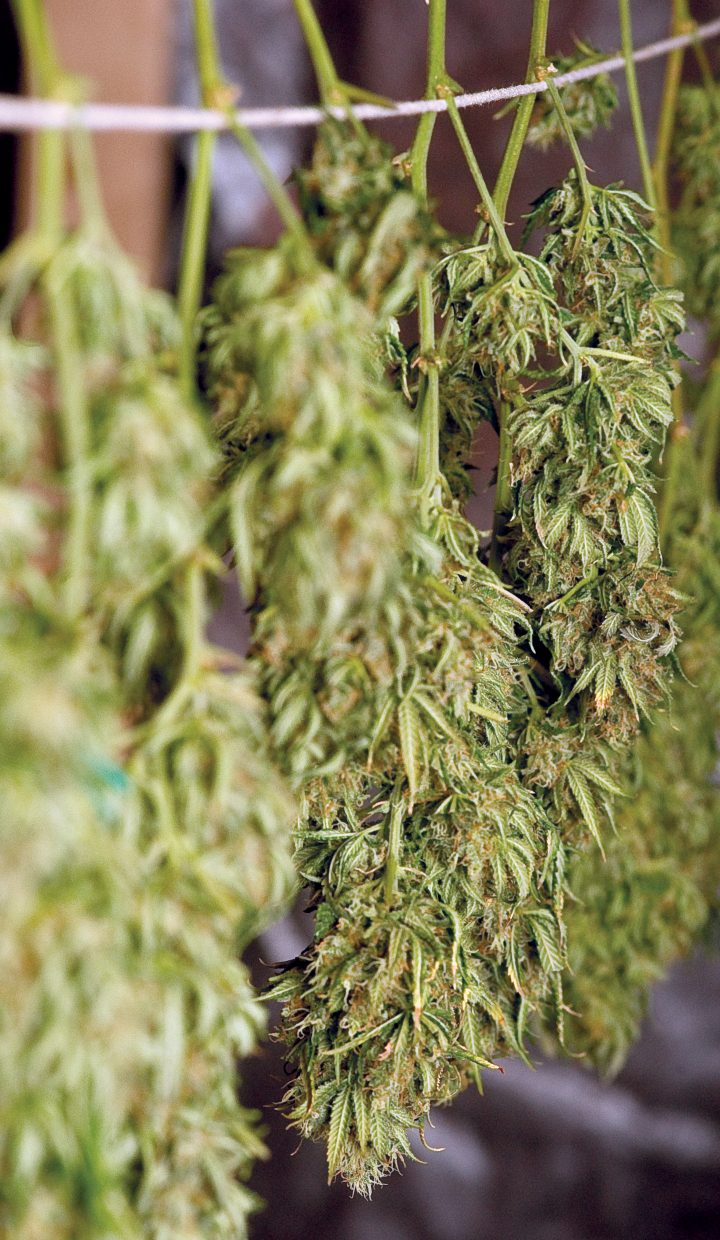 Stems of marijuana hang in the drying room at Rocky Mountain Remedies in Steamboat Springs.