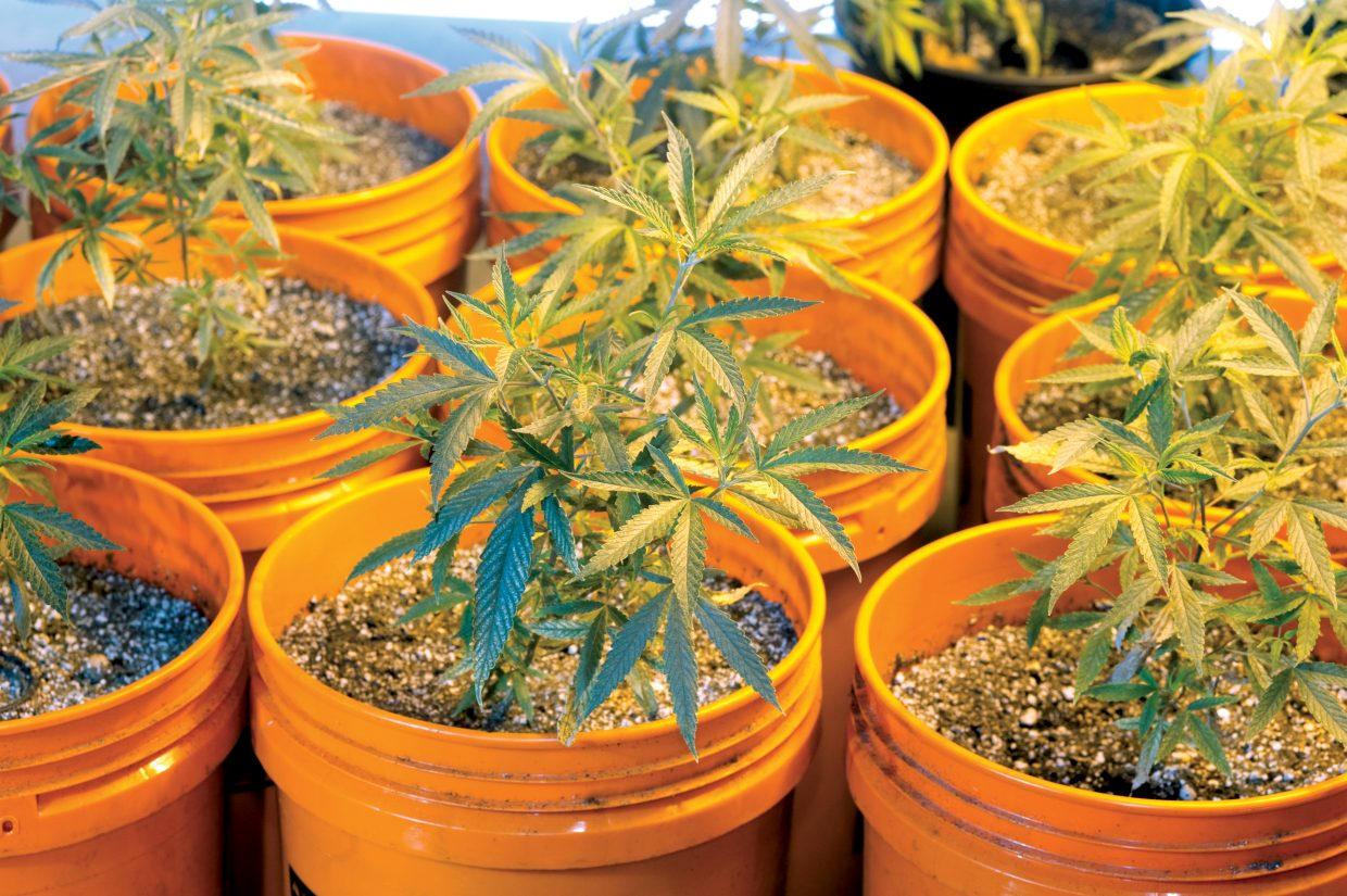 The plants then are moved from the 1-gallon pots to 5-gallon buckets, where they stay for three to five weeks.