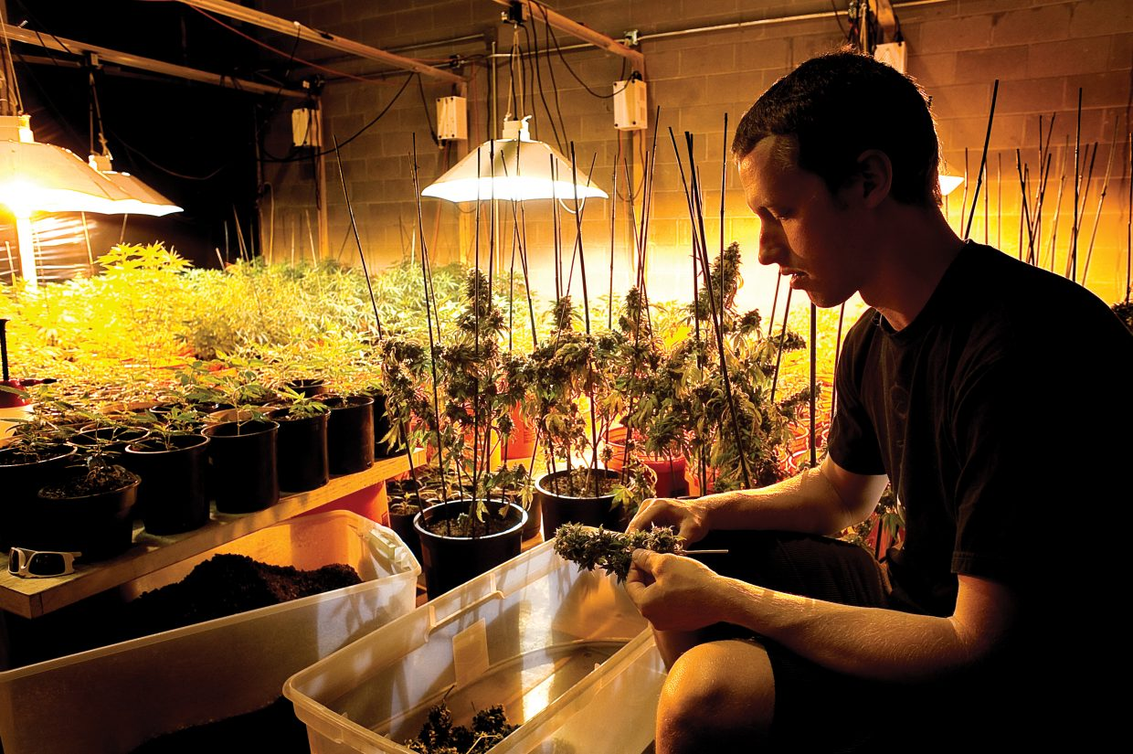 Rocky Mountain Remedies co-owner Kevin Fisher trims buds inside the grow room at his center in Steamboat Springs. The business employs 16 full-time workers and is one of the largest centers in the state based on number of patients served.