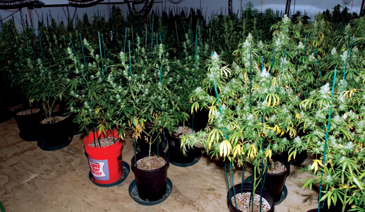 The plants are moved to another room and exposed to 12 hours of light and 12 hours of darkness each day to flower, or bud, for six to 12 weeks.