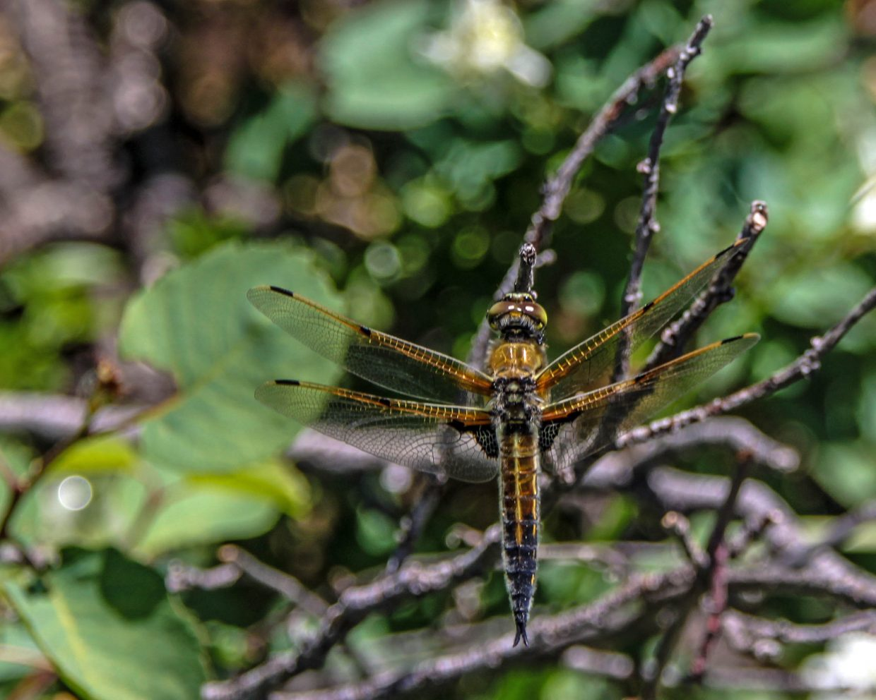 The magnificent four-spotted chaser dragonfly: I took this photo on the trail above the road to Fish Creek Falls. It is amazing how well this dragonfly blends in with its surroundings, and I had to zoom in with my lens to make sure it was there. Submitted by: G. Fredric Reynolds