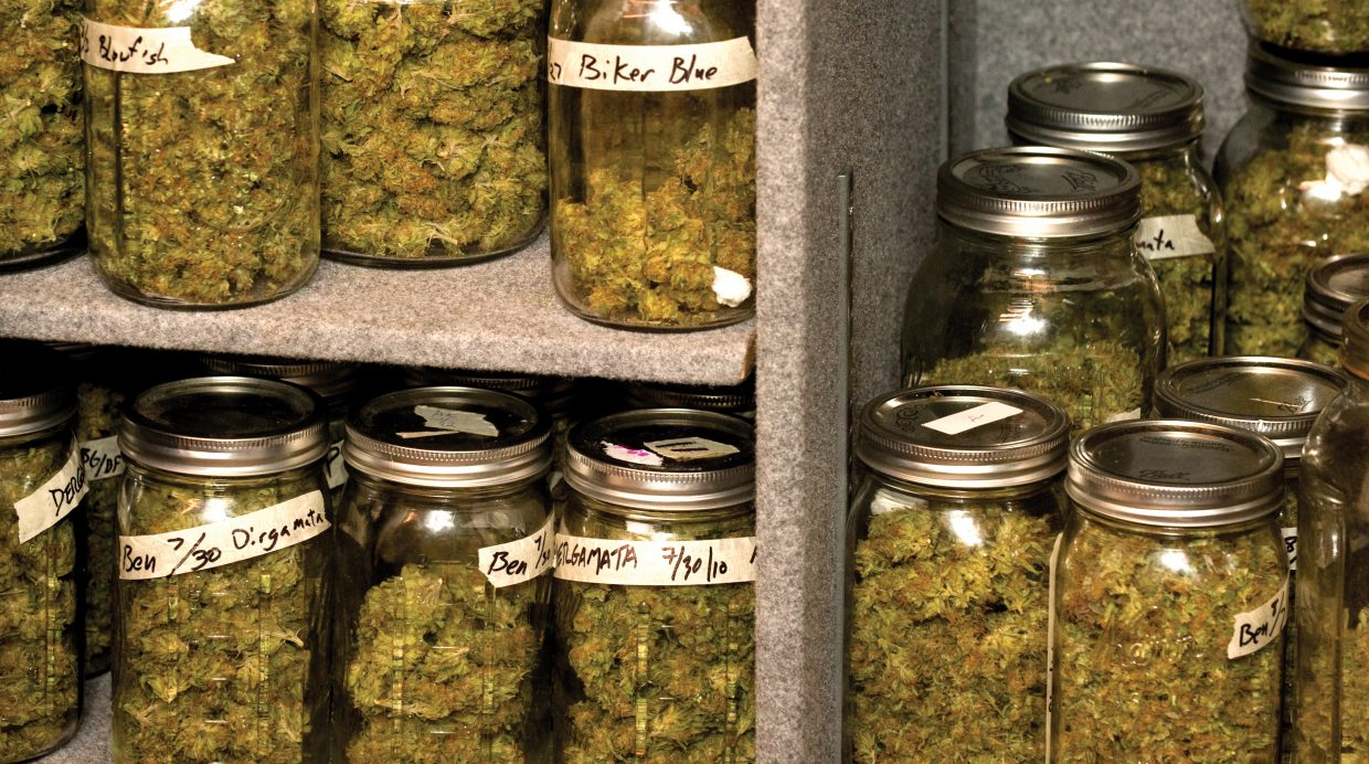 Once the marijuana has been trimmed, it is placed in glass jars to cure.