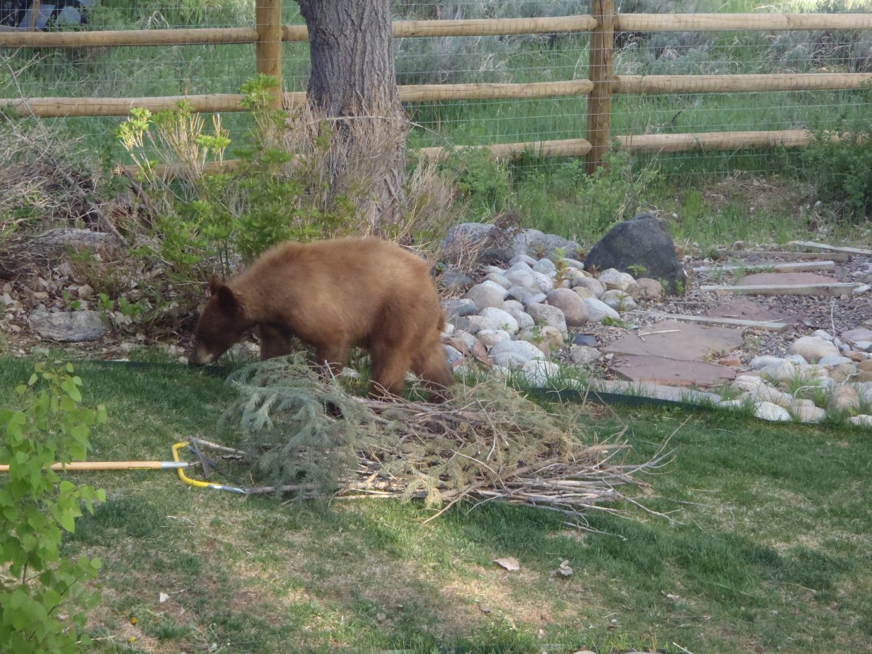 A bear helped himself into Kimberly Chandler's yard and helped himself right down the path to the fire pit and climbed over the gate. Submitted by: Kimberly Chandler