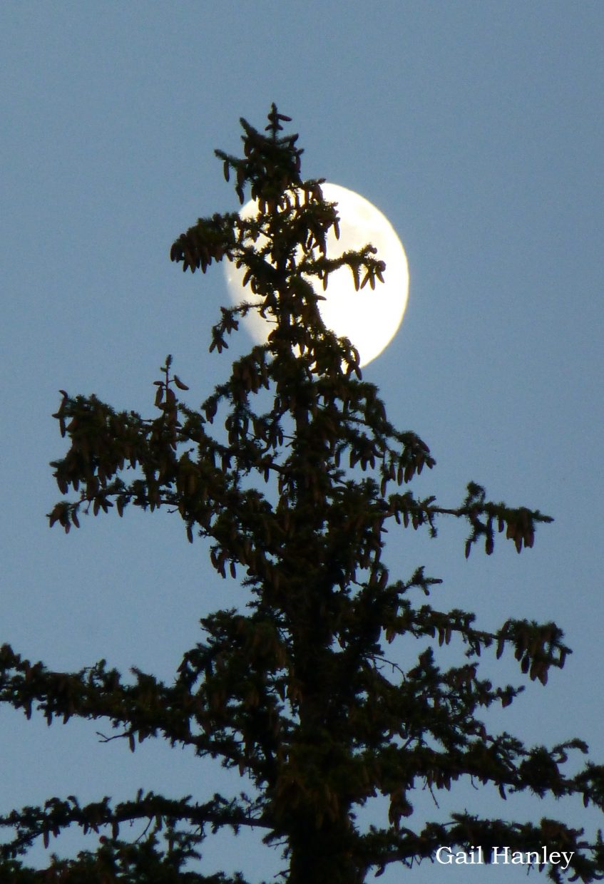 Moon in the pines. Submitted by: Gail Hanley