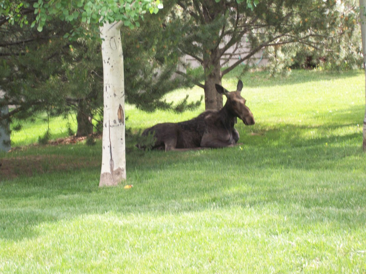 A relaxed moose enjoys the afternoon. Submitted by: Lori Burks