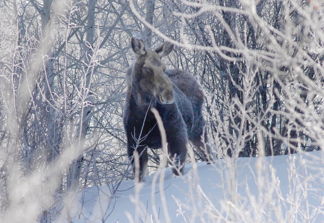 Frost clings to the fur of a moose off Bear Drive near Mount Werner last week. The moose was chewing on nearby branches and didn't seem bothered by the snow or cold.
