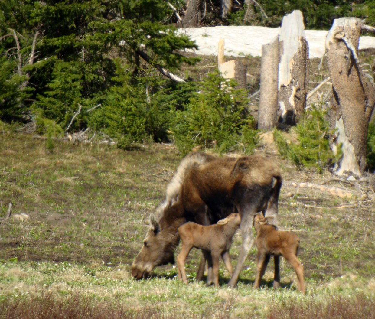 Moose with twin calves at Rabbit Ears Pass. Submitted by: David Moulton