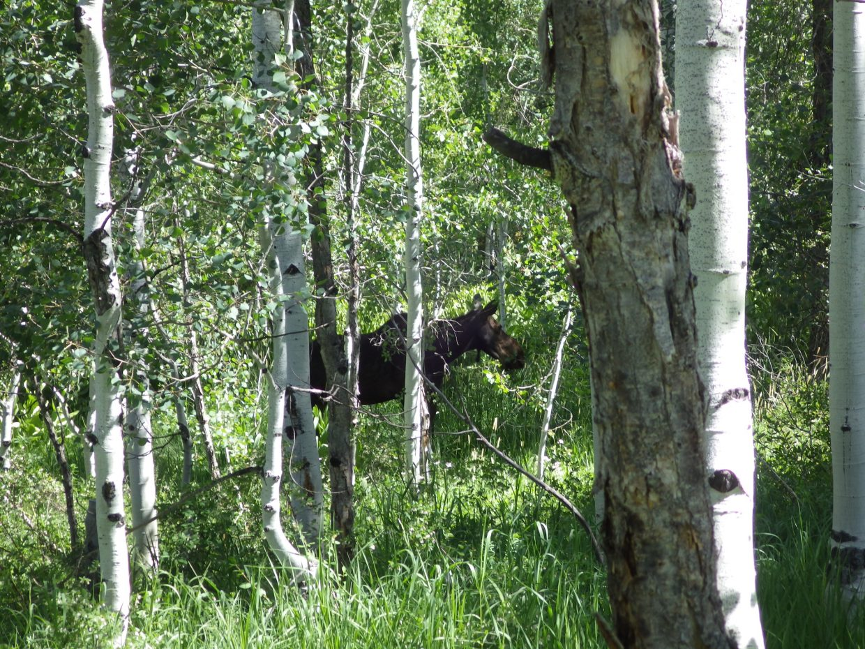Moose munching in my backyard. Submitted by: Susan Frederick
