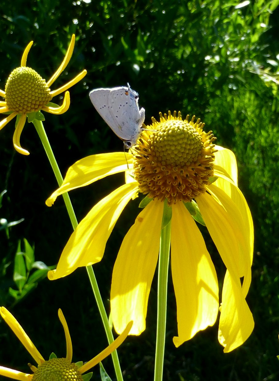 Moth on coneflower. Submitted by: Gail Hanley