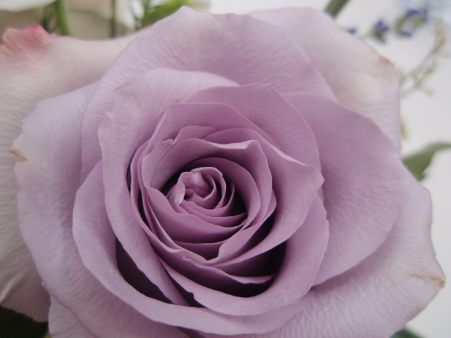 Lavender rose. Submitted by: Candice Martin