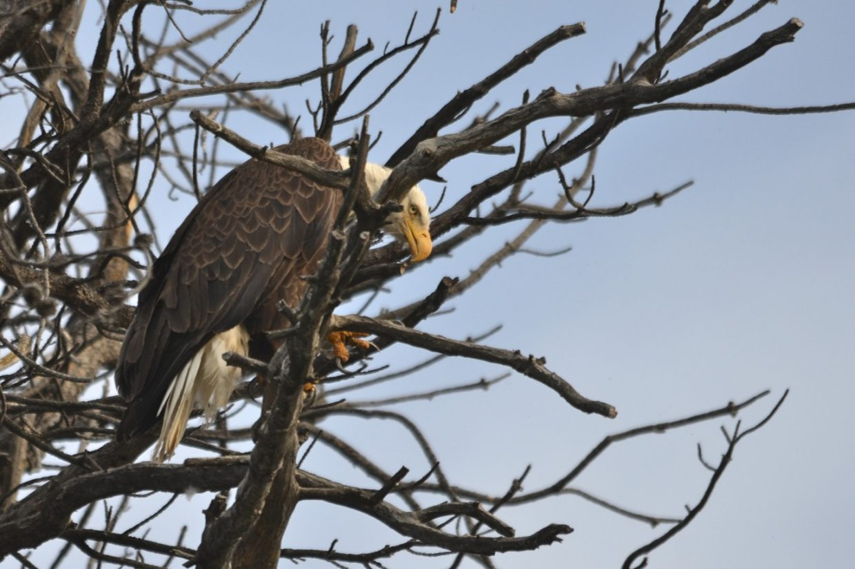 Eagle crying in his nest, while his mother was nearby hunting for his dinner. Submitted by: Penney Adams
