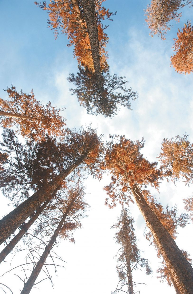 A stand of beetle-killed pine trees glow in the late-afternoon sunlight in North Routt County. The mountain pine beetle has impacted more than 134,000 acres of lodgepole pine in 2007 in Routt County, an increase of nearly 55,000 acres from 2006.