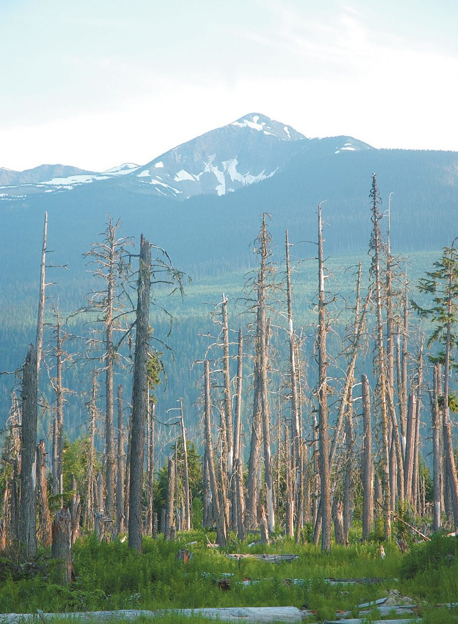 Beetle-killed pines - the remnants of a logging operation along the Yellowhead Highway in northern British Columbia - stand in front of the Caribou Mountains.