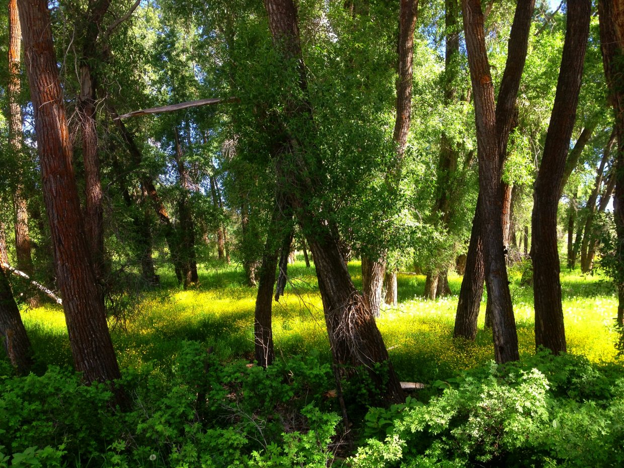 Afternoon light shimmers through cottonwoods near Yampa. Submitted by: Verleen Tucker