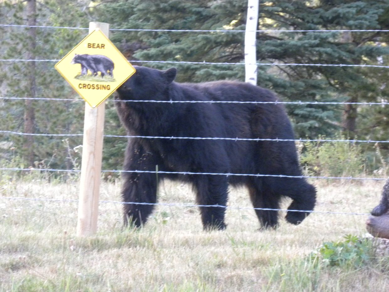 Do I have the right-of-way? I took this photo looking out our dining room window of large black bear walking alongside our yard fence about 35 feet away from our home at 29200 Routt County Road 64 (Seedhouse Road) in Clark. It was taken Aug. 2 at about 5 p.m. Submitted by: Phylis Moss