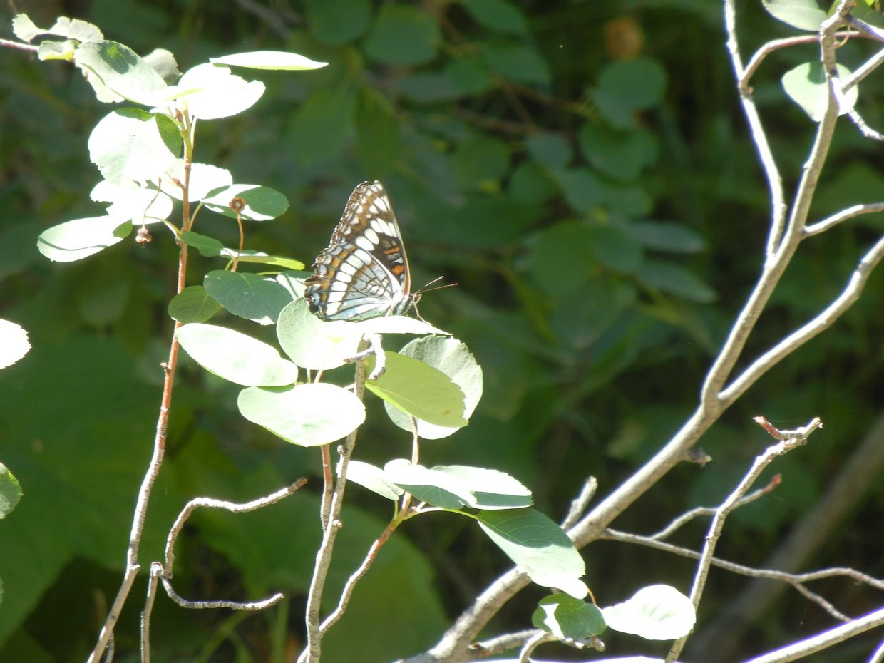 Another butterfly. Submitted by: Nancy Roberts