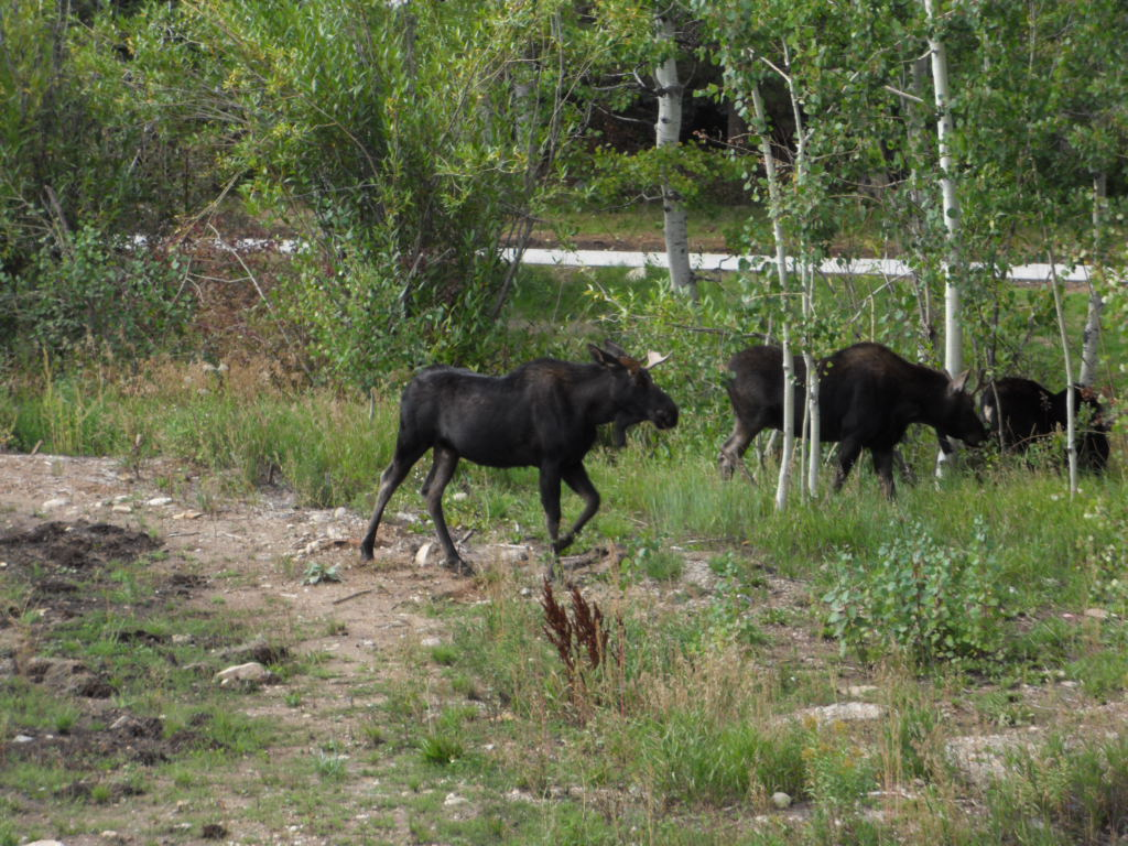 Moose in the Dirt Bike Park on the West side of the Kutuk building in Ski Time Square. Submitted by: Sam Searcy