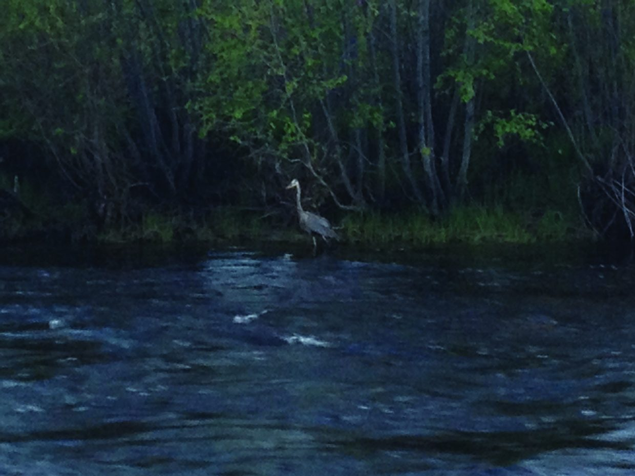 Sandhill crane along the Yampa River. Submitted by: Meghan Lutterman