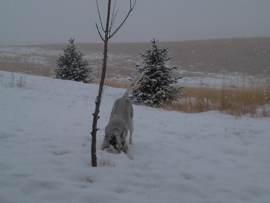Sled dogs love the snow! 