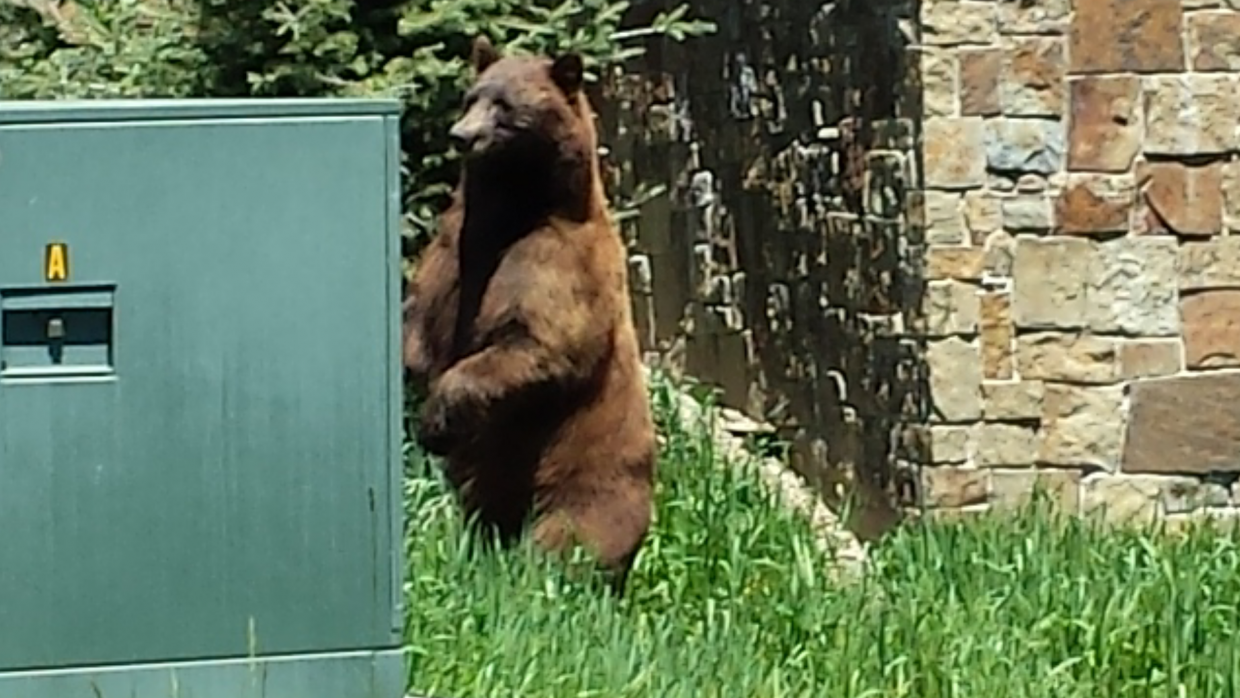 Bear stood up to scare me off Sunday with his size at Mount Werner Circle and Après Ski Way. Submitted by: Philippe Ávila
