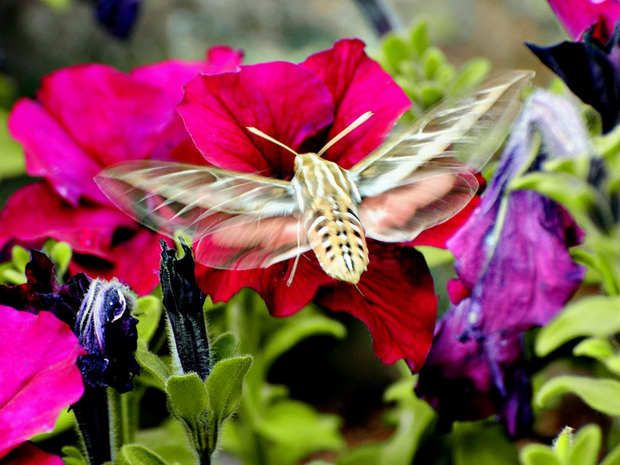 White lined sphinx moth at Yampa River Botanic Park. Submitted by: Jeff Hall
