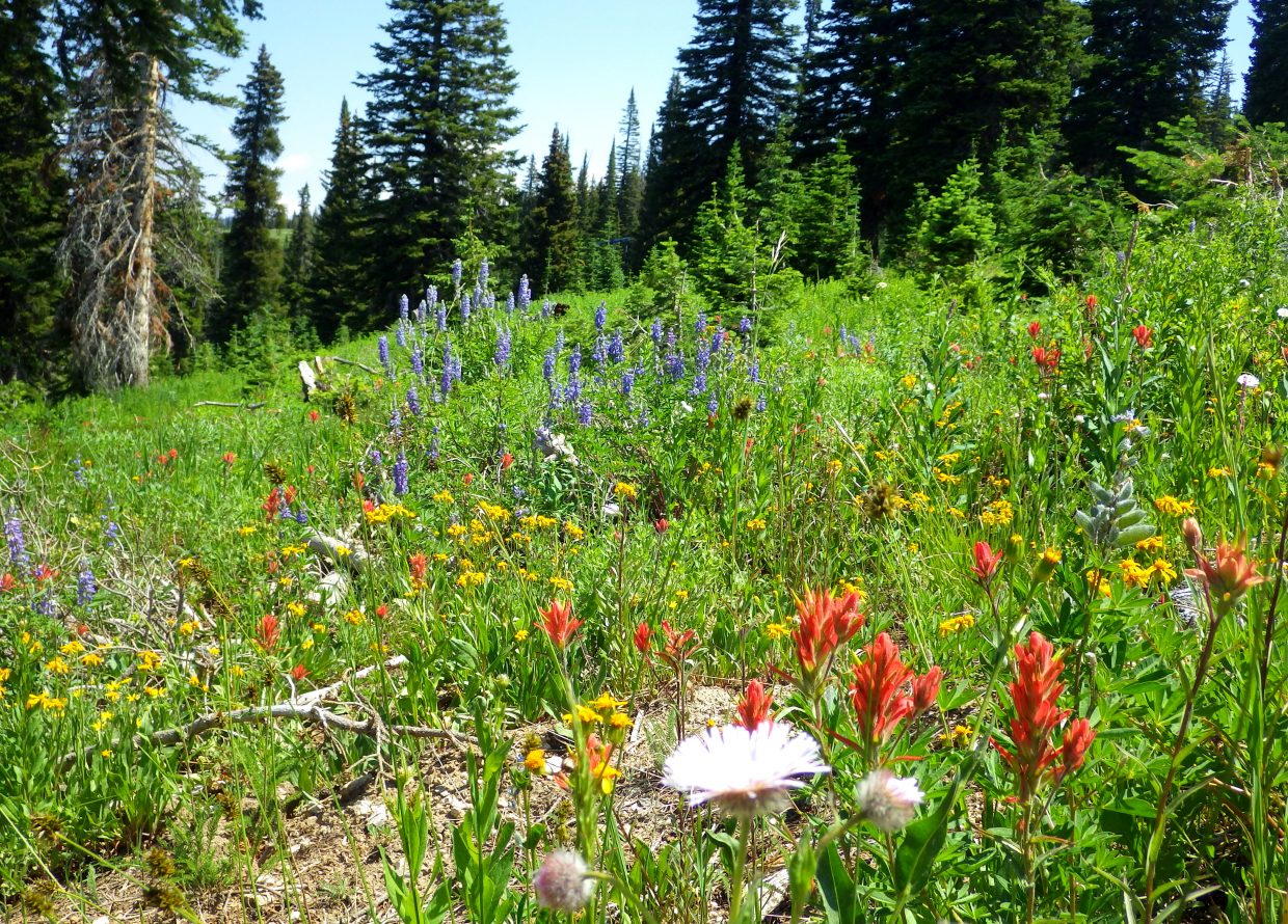 The flowers are blooming at Mount Werner and all over Steamboat. Submitted by: Shannon Lukens
