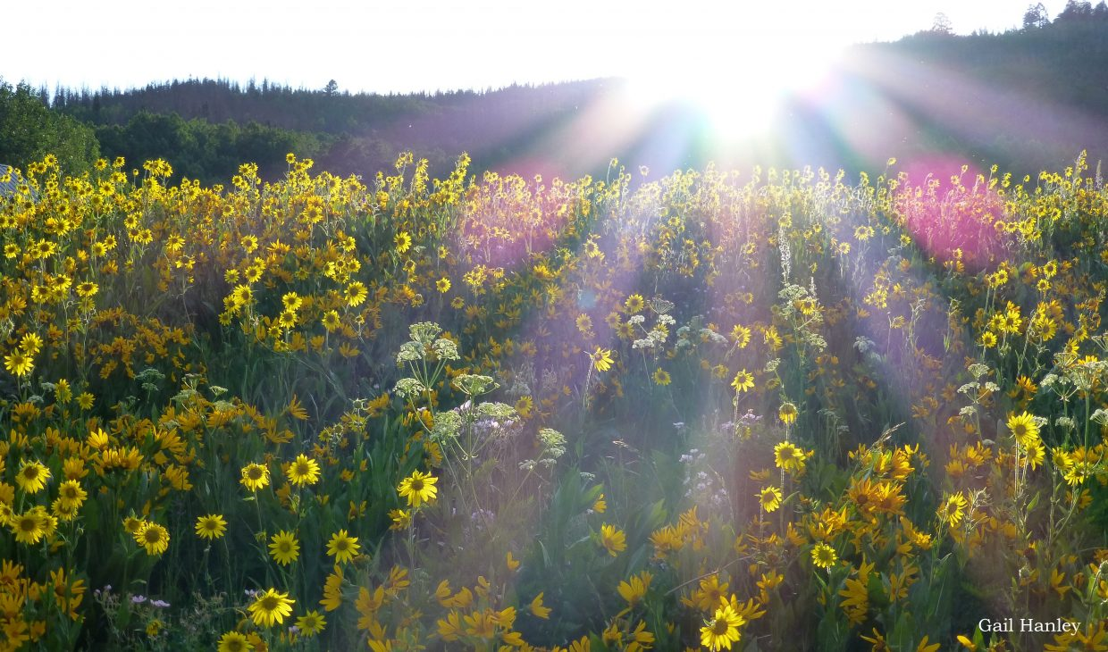 Sunfllowers with sun. Submitted by: Gail Hanley.
