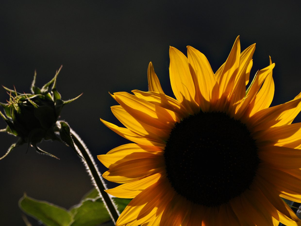 Sunflower, Yampa River Botanic Park. Submitted by: Jeff Hall
