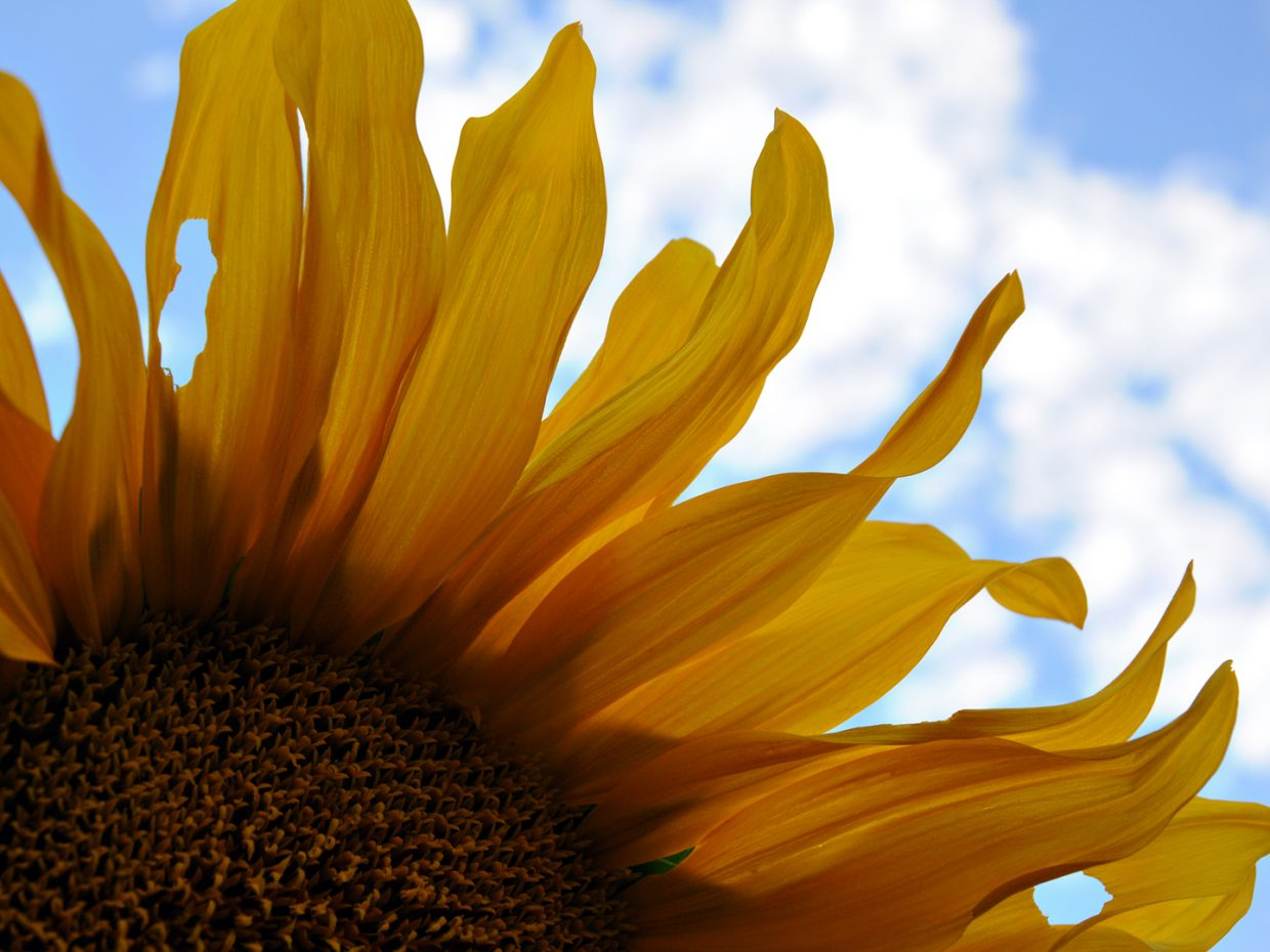 Sunflower closeup at Yampa River Botanic Park. Submitted by: Jeff Hall