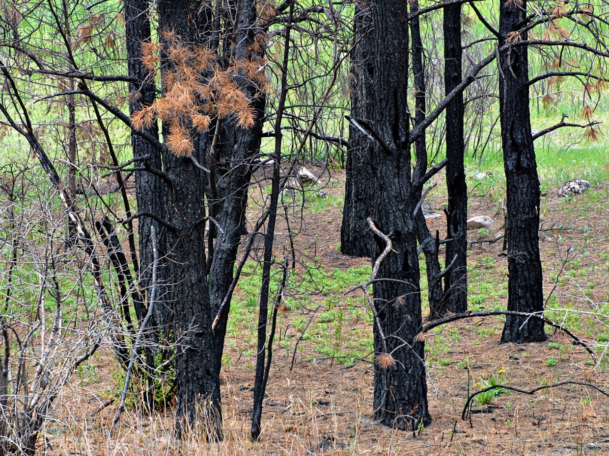 A little green returns to Poudre Canyon after last years High Park Fire. Submitted by: Jeff Hall